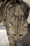 Gray tabby british cat Royalty Free Stock Photos
