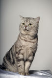 Gray tabby british cat Royalty Free Stock Photo