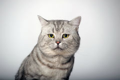 Gray tabby british cat Stock Images
