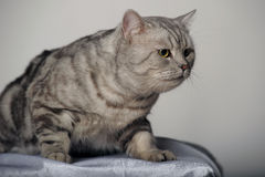 Gray tabby british cat Stock Image