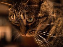 Gray Tabby Cat Royalty Free Stock Photo
