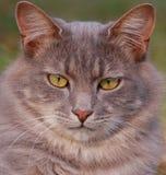 Gray Tabby Cat Stock Image