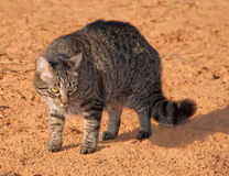 Gray tabby cat arching its back. To make itself appear larger to ward off a threat Stock Image