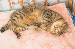 Gray tabby cat in a baby bed Royalty Free Stock Image