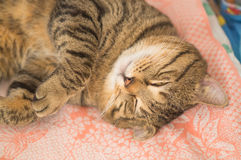 Gray tabby cat in a baby bed Royalty Free Stock Photos