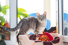 Gray tabby cat Stock Images