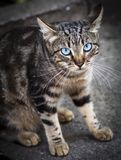 Gray tabby cat with blue eyes sitting on the asphalt Royalty Free Stock Photos