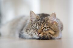 Gray Tabby Cat on Brown Floor Stock Images