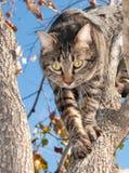 Gray tabby cat climbing down from a tree. Beautiful gray tabby cat climbing down from a Persimmon tree in fall Stock Photos