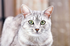 Gray tabby cat Stock Photography
