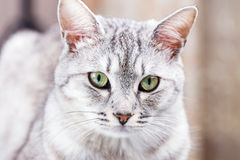 Gray tabby cat Royalty Free Stock Photography