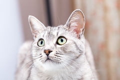 Gray tabby cat Royalty Free Stock Photos