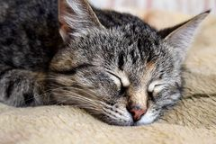 Gray tabby cat dreams of a good night`s sleep. Cat, snout, sleeping, animal, pet, furry, striped, mustache, eye, squinted, sunlight, warm, fur, cosiness Royalty Free Stock Image