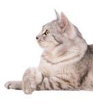 Gray tabby cat European. Portrait Stock Image