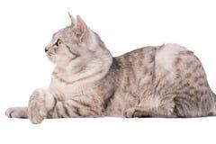 Gray tabby cat European. Portrait Stock Photos