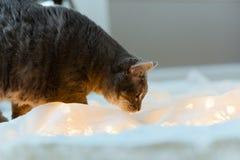 Gray Tabby Cat explores Christmas Lights. A cat investigates a house stock photos
