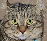 Gray Tabby Cat Expression Imagem de Stock Royalty Free