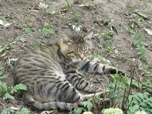 Gray tabby cat. Rests in the autumnal garden on the ground royalty free stock photography