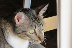 Gray tabby cat with green eyes on alert. With standing ears Royalty Free Stock Photo