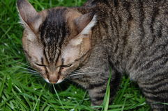 Gray tabby cat. In the green grass Royalty Free Stock Photo