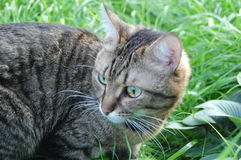 Gray tabby cat. In the green grass Stock Image