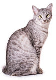 Gray tabby cat. Isolated on white background Royalty Free Stock Photos