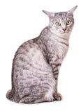 Gray tabby cat Stock Photo