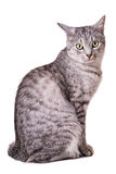 Gray tabby cat Royalty Free Stock Images