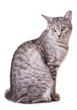 Gray tabby cat Stock Image
