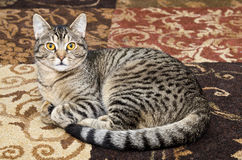 Gray tabby cat laying on carpet Royalty Free Stock Photo