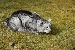 Gray tabby cat lying in the grass. Royalty Free Stock Image