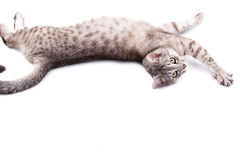 Gray tabby cat lying. Isolated on white background Royalty Free Stock Photo