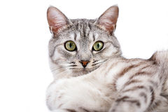Gray tabby cat lying. Isolated on white background Royalty Free Stock Images