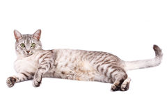 Gray tabby cat lying. Isolated on white background Stock Photo