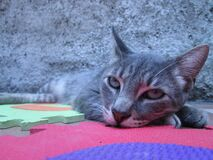 Gray Tabby Cat Lying on Puzzle Mat Stock Photo