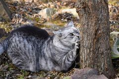 Gray tabby cat lying sharpen claws on tree Stock Images