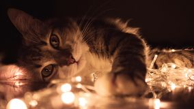Gray Tabby Cat Lying on White String Lights Royalty Free Stock Photography