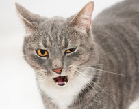 Gray tabby cat with orange eyes licking her lips Stock Images