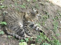 Gray tabby cat. Rests in the autumnal garden on the ground stock photography