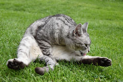 Gray tabby cat sitting in the grass and licking his paw stock photos