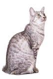 Gray tabby cat Royalty Free Stock Image
