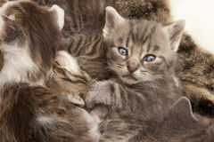 Gray tabby cat young Royalty Free Stock Images