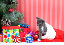 Gray tabby crawling out of christmas stocking. Gray kitten coming out of a red stocking next to a christmas tree with presents and ornaments strewn around the Stock Photos