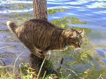 Cat Watching Fish. A gray tabby Highland Lynx cat standing on a tree stump watching the fish in a lake while he gets some water to drink royalty free stock image