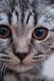 Gray tabby kitten Royalty Free Stock Photos