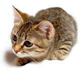 Gray tabby kitten. Royalty Free Stock Photos