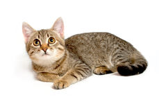 Gray tabby kitten. Royalty Free Stock Photo