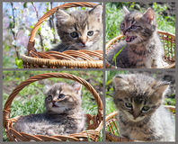 Gray tabby kitten in a basket Royalty Free Stock Images