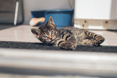 Gray Tabby Kitten Laying Down en el piso Fotografía de archivo libre de regalías