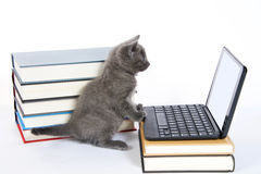 Gray tabby kitten looking at a blank screen on a miniature laptop type computer stock image